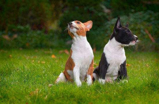 litle puppy basenji