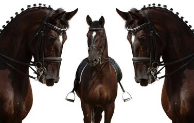 black horses isolated on white