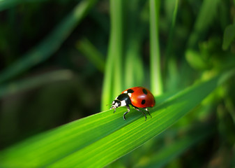 red ladybird on a grass