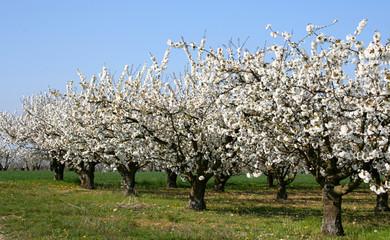 rang de cerisiers