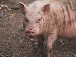 schmutziges schweinchen