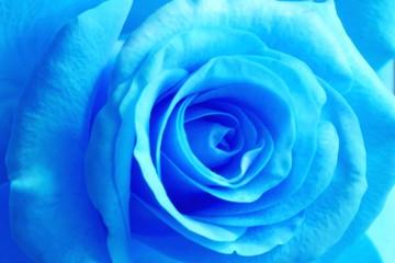 Photo sur Aluminium Macro photographie blue rose