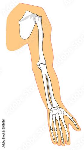 anconeus muscle\