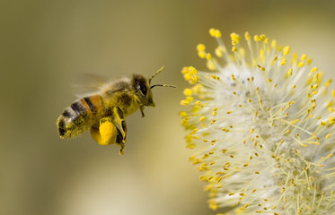 In de dag Bee bee collecting pollen