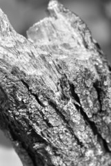 rose bark