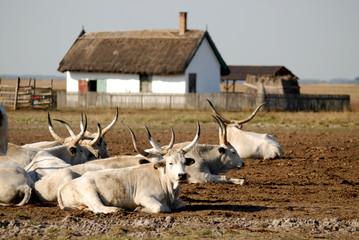gray cattle
