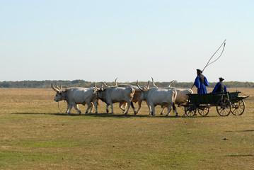 team of gray cattle