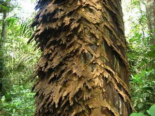 termitenbehausung, amazonas - brasil