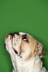 side view of english bulldog on green background.
