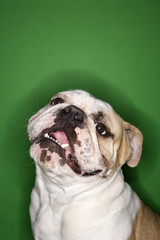 english bulldog smiling on green background.