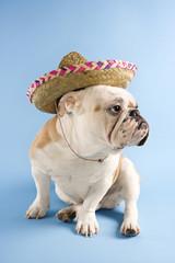 english bulldog wearing sombrero on blue background.