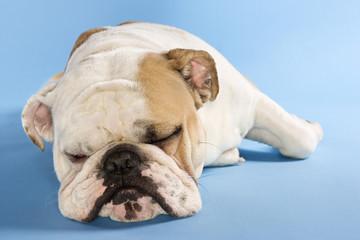 english bulldog sleeping.