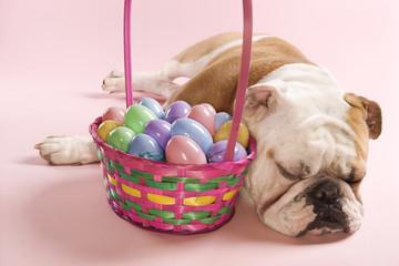 english bulldog sleeping next to easter basket.