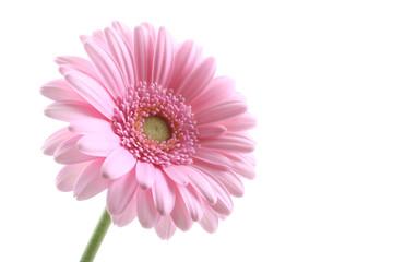 Photo sur Aluminium Gerbera pink