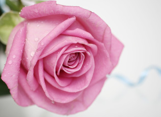 the pink rose lays on a white background