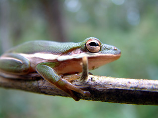 tree frog in everglades