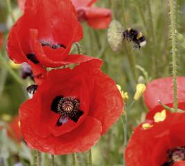 poppy, field,
