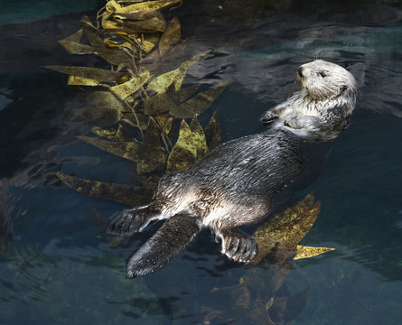 Otter swimming in aquarium in Lisbon, Spain.