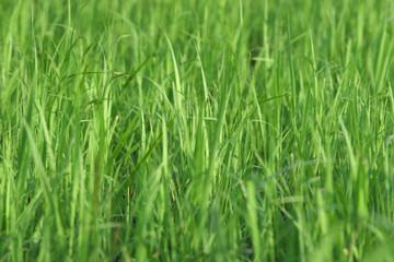 juicy green grass