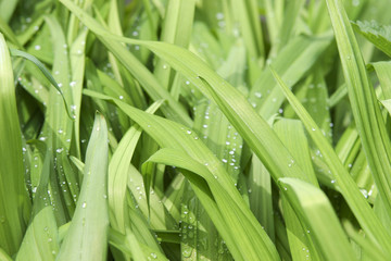 juicy green grass with water drops