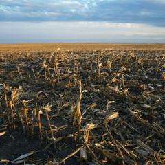 dead cornfield in rural south dakota.