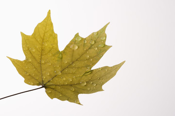 maple leaf sprinkled with water.