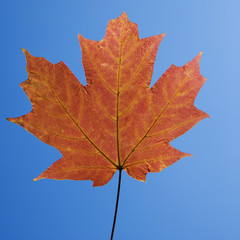red maple leaf on blue.