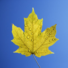 maple leaf on blue.