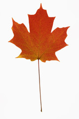 red maple leaf on white.
