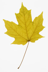 maple leaf on white.
