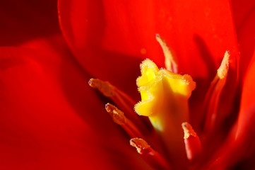red and yellow tulip close up