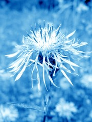 flower in blue misty
