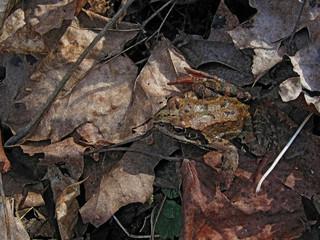 frog on leaves