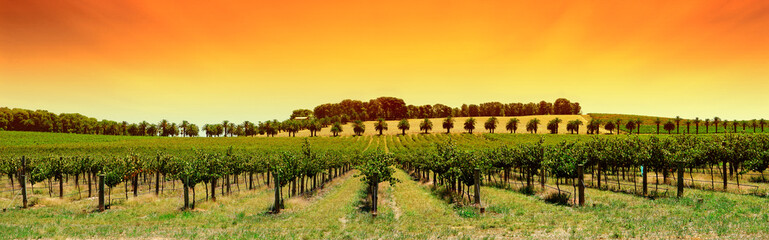 Wall Mural - vineyard panorama sunset