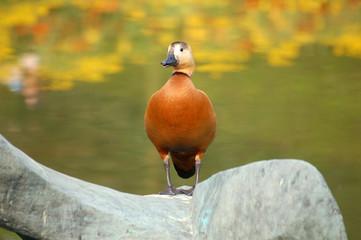 canard roux sur fond automnal