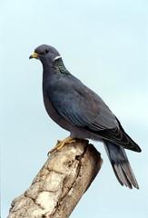 band-tailed pigeon (columba fasciata)