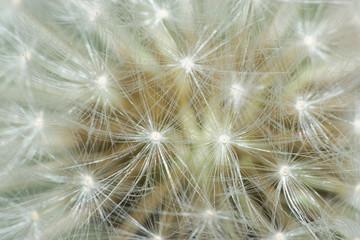 Fotorolgordijn Paardebloemen en water dandelion makro