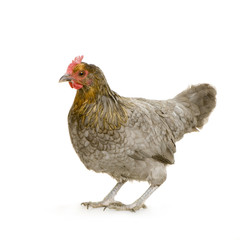 poule