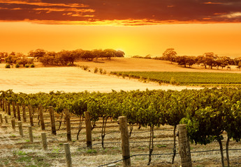 Wall Mural - vineyard sunset