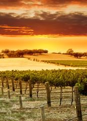 Wall Mural - vineyard sunset