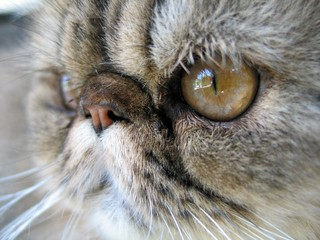 persian cat close up