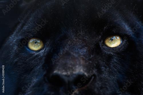 black panther stockfotos und lizenzfreie bilder auf. Black Bedroom Furniture Sets. Home Design Ideas