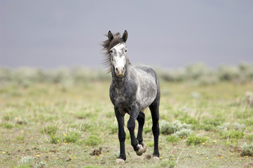 lone wild horse on the praire