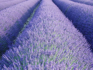 Printed roller blinds Lavender lavande