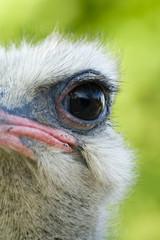 occhio di struzzo