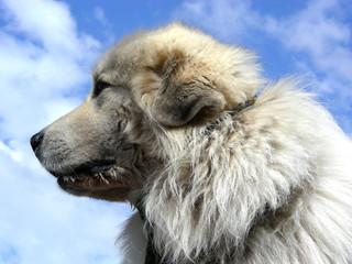 attentive big dog
