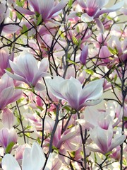 pink flowers of magnolia tree