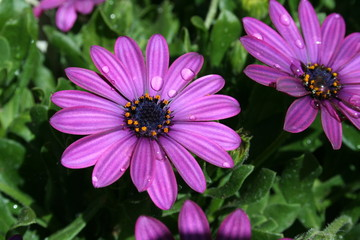 violet garden flowers with water drops