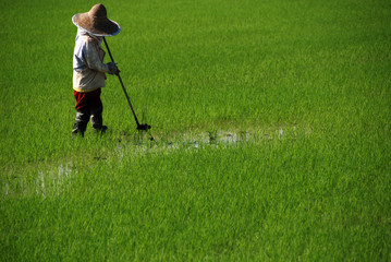 farmer and paddy field