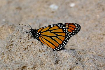beach monarch